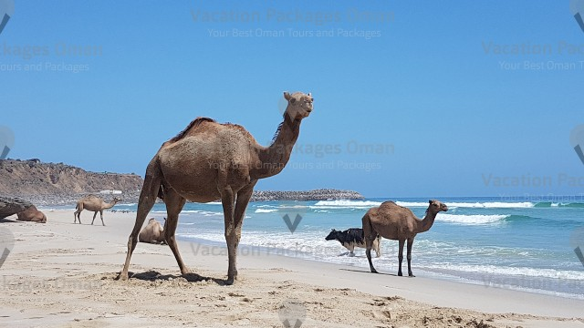 Extraordinary footage of camels and cows at the beach, but this is the ordinary in Salalah.