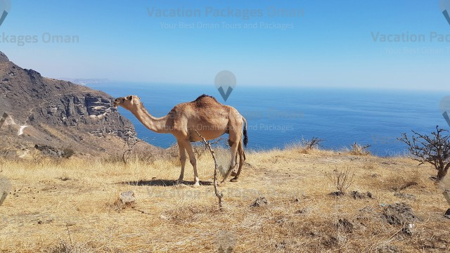 A camel in Salalah staying on top of Qara mountain, and the beach in behind, beautiful complex of nature in Oman.
